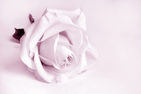 Closeup of white rose. Pink toned. photo