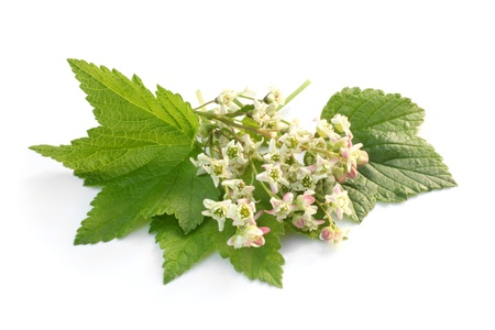 nurseling: Flowers of a black currant with leaves on a white background