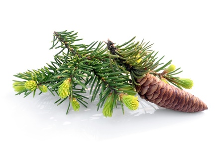 Fir branch with cone on white background photo