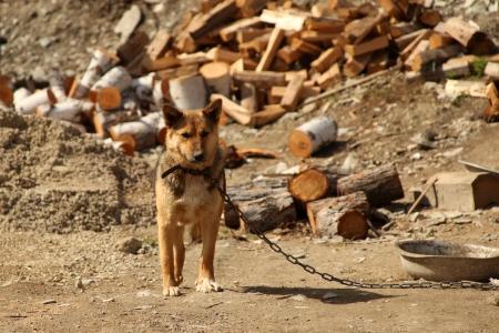 perro asustado: Perro solo en unas cadenas Foto de archivo