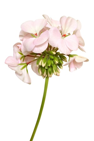 Blühende rosa Geranien auf einem weißen Hintergrund Lizenzfreie Bilder