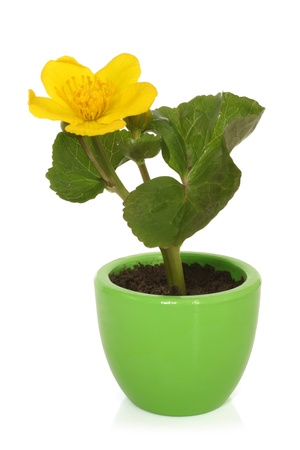 palustris: Caltha palustris in pot on a white background Stock Photo