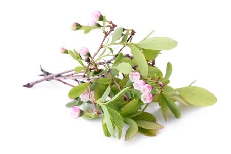 de hojas de fresa y flores en una maceta para regar fotos