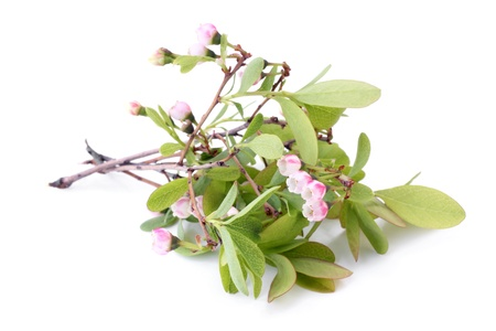 Flowers of a Bog Bilberry (Vaccinium uliginosum) with leaves on a white background photo