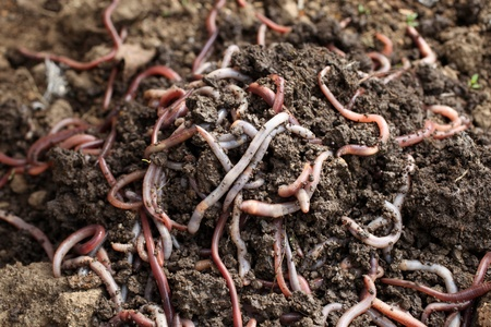 squirm: Group of earthworms in the earth