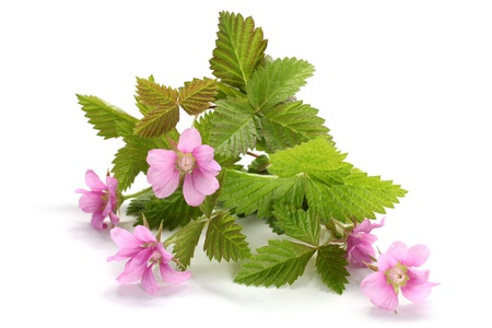 Flowers of a Rubus arcticus with leaves on a white  photo