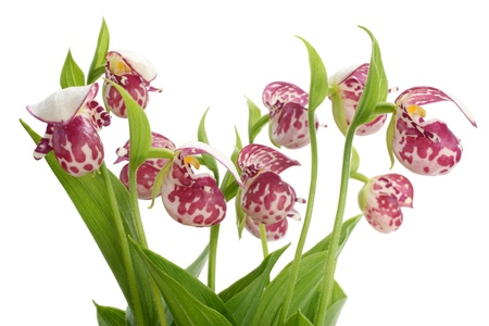 lady slipper: Flowers of the Spotted Ladys Slipper (Cypripedium guttatum) isolated on a white