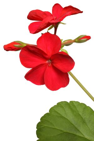 Blossoming red geranium isolated on a white  photo