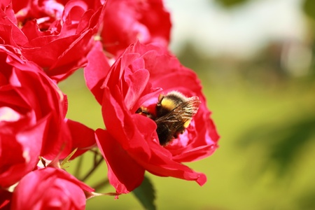 bombus: A bumblebee collects pollen from the flowers of a rose Stock Photo