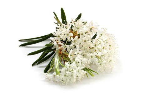 白い葉を持つ花