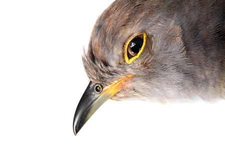 cuckoo: Portrait of a Common Cuckoo isolated on a white