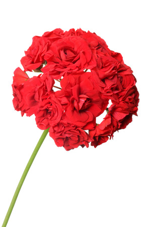 Blossoming red geranium isolated on a white background photo
