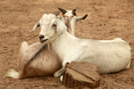 billy: Pair of goats, a horizontal picture Stock Photo