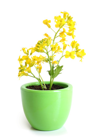 napus: Rapeseed (Brassica napus) in pot on a white
