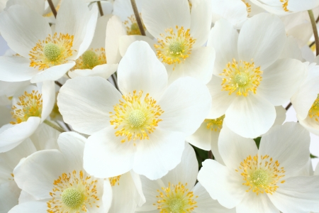 Anemone sylvestris (snowdrop anemone), for backgrounds or textures  photo