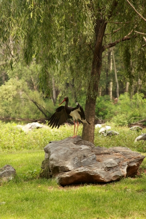 Black stork and gray cranes on the shore of lake, a vertical picture Stock Photo - 23030675