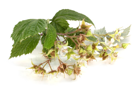 Flowers of raspberry with leaves on a white background Stock Photo - 23030940