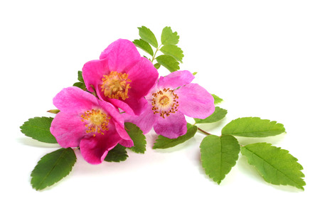 Flowers of pink dog rose with leaves on a white background Stock Photo - 23033333