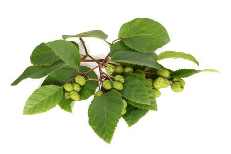 alder: Alder branch with green female catkins on white background