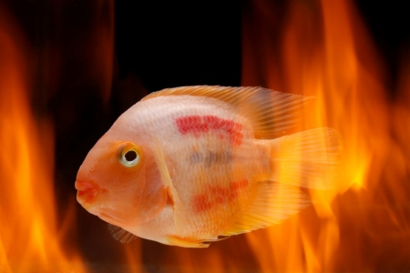 Painted blood parrot cichlids (Cichlasoma sp.) in fire photo