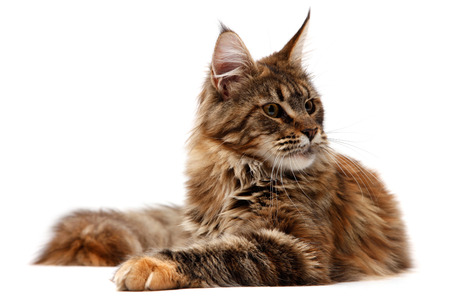 Maine Coon on white background photo