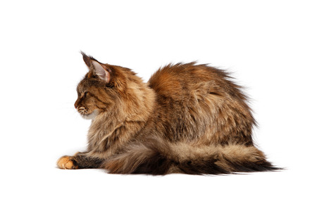 coon: Maine Coon on white background