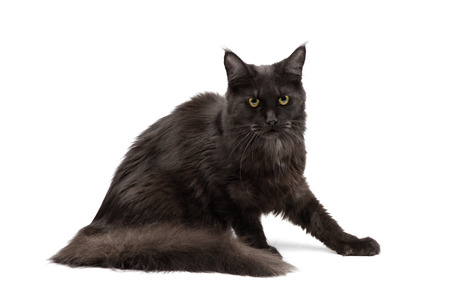 coon: Black Maine Coon on white background
