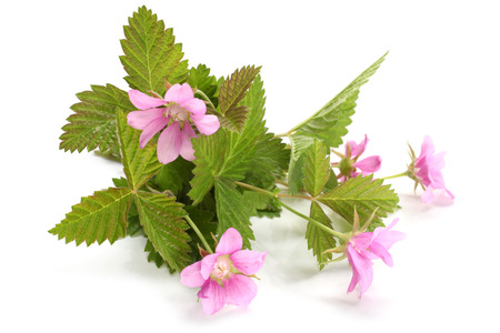 bramble: Flowers of a Rubus arcticus with leaves on white background