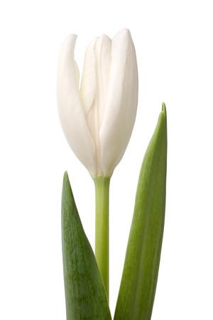 White tulip isolated on a white background photo