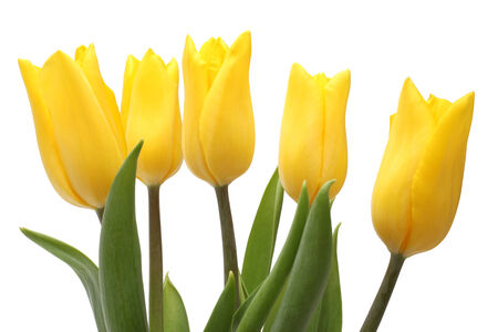 Yellow tulips isolated on a white background photo