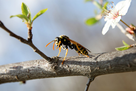 Wasp on a tree branch, macro photo