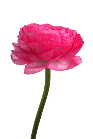 Fresh ranunculus isolated on white background photo