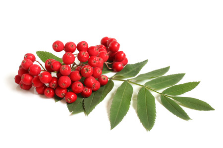 rowan tree: Branch of ashberry with green leaf on white background Stock Photo