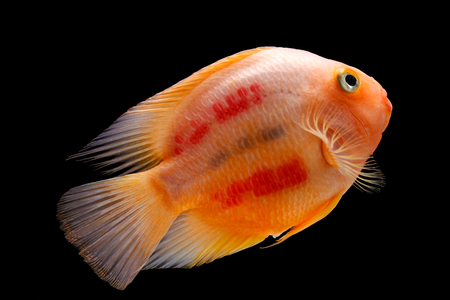 blood parrot: Painted blood parrot cichlids (Cichlasoma sp.) isolated on black background