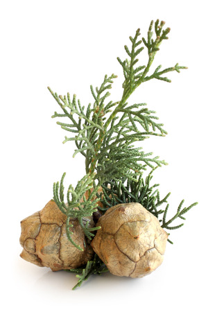 Cypress foliage and cones on white background photo