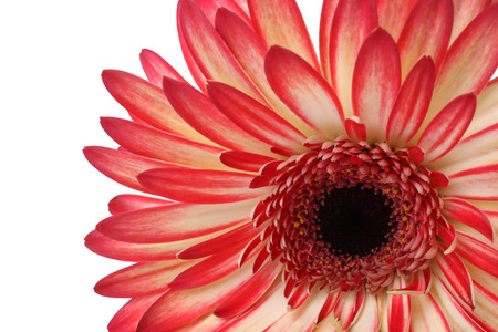 Closeup of gerbera isolated on white background photo