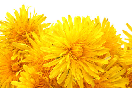 Bright beautiful yellow dandelions isolated on white background photo