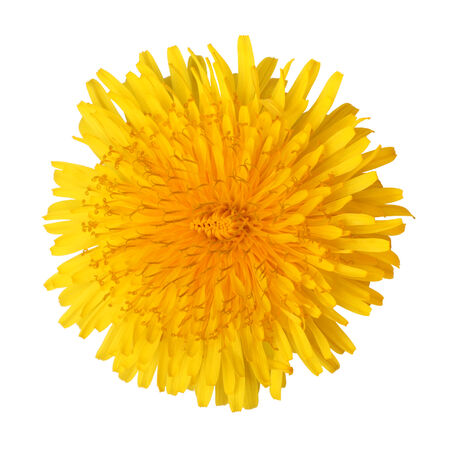 wild herbs: Bright beautiful yellow dandelion isolated on white background