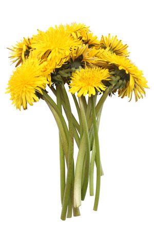 Bright yellow dandelions isolated on white background photo