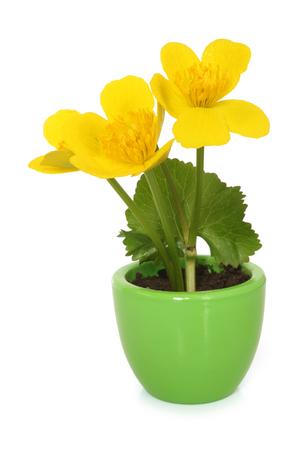 palustris: Caltha palustris in pot on white background Stock Photo