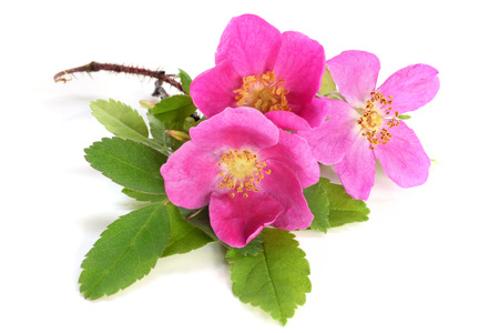 Flowers of pink dog rose with leaves on white background photo