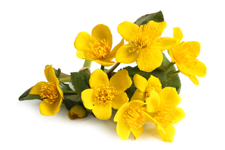 yellow stamens: Caltha palustris on white background