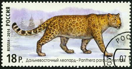 postmail: RUSSIA - CIRCA 2014: A stamp printed in Russia shows Amur leopard, series The Fauna Of Russia. Wild cats, circa 2014 Editorial