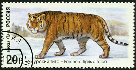 postmail: RUSSIA - CIRCA 2014: A stamp printed in Russia shows Siberian tiger, series The Fauna Of Russia. Wild cats, circa 2014