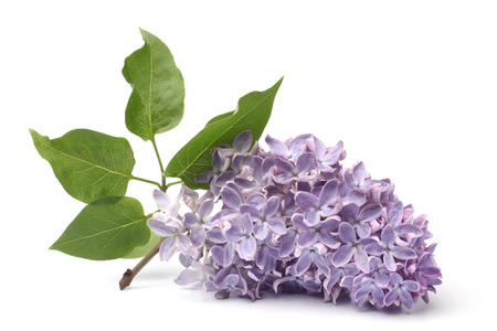 Branch of blooming lilacs on white background