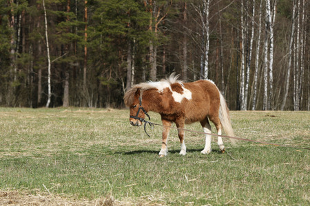 skewbald: Pony in the pasture