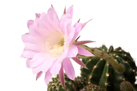 cereus: Queen of the Night Cactus (Selenicereus grandiflorus) isolated on white background Stock Photo