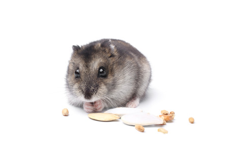 Djungarian hamster on white background 스톡 콘텐츠