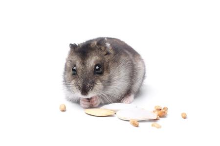 Dsungarischer Hamster auf weißem Hintergrund Standard-Bild - 46952417