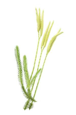 Lycopodium clavatum with sporophylls isolated on white background Stock Photo